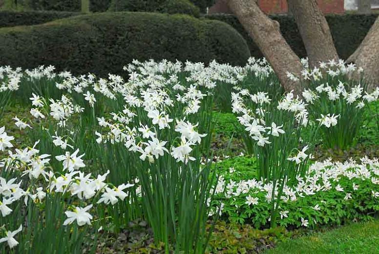 Narcissus Thalia, Daffodil 'Thalia', Triandrus Daffodil 'Thalia', Triandrus Daffodils, Angel's Tears, Spring Bulbs, Spring Flowers, mid spring daffodil, Triandrus Narcissus, white daffodil
