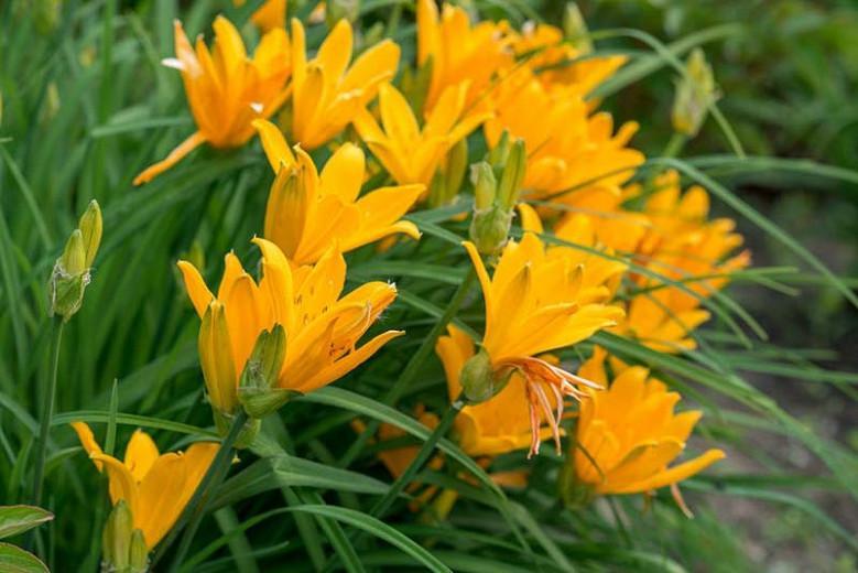 Hemerocallis 'Aztec Gold', Daylily 'Aztec Gold', Day Lily 'Aztec Gold', 'Aztec Gold' Daylily, daylilies, Daylily, Day Lilies, Yellow flowers, Yellow day lily, Yellow Daylily, Midseason Daylilies, Yellow Hemerocallis