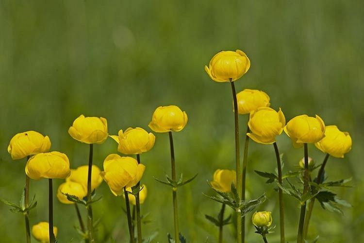 Trollius × Cultorum 'Superbus', Globe Flower 'Superbus', Globeflower 'Superbus', Shade plants, shade perennial, plants for shade, plants for wet soils, Trollius europaeus 'Superbus'