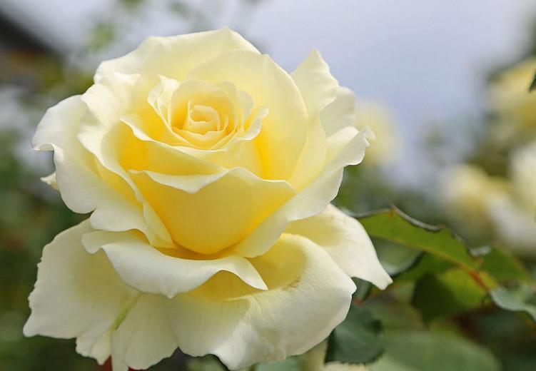 Rosa 'Lily Pons', Rose 'Lily Pons', Hybrid Tea Roses, Shrub Roses, Sub-Zero Series, Yellow Roses, Yellow Flowers