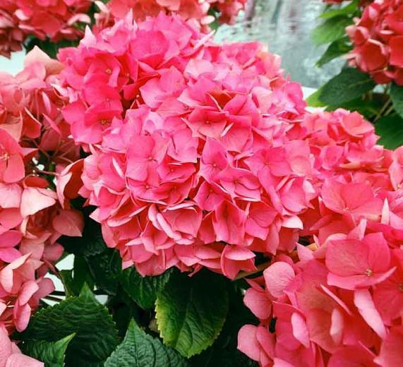 Hydrangea Macrophylla 'Masja', Bigleaf Hydrangea 'Masja', Mophead Hydrangea 'Masja', Hortensia 'Masja', Hydrangea macrophylla 'Red Masja', Red Hydrangea, Dwarf Hydrangea