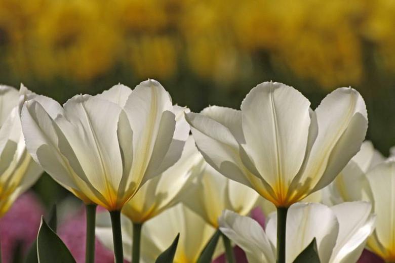 Tulipa 'Purissima', Tulip 'Purissima', Fosteriana Tulip 'Purissima', Tulip 'White Emperor', Fosteriana Tulip 'White Emperor', Fosteriana Tulips, Spring Bulbs, Spring Flowers, White Tulip, Early tulip