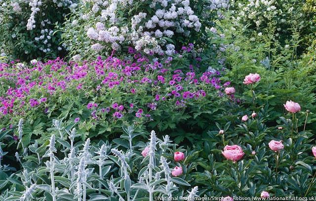 Geranium Psilostemon,Armenian Cranesbill, Geranium Armenum, Hardy Geranium, Purple Geranium,Purple Flowers