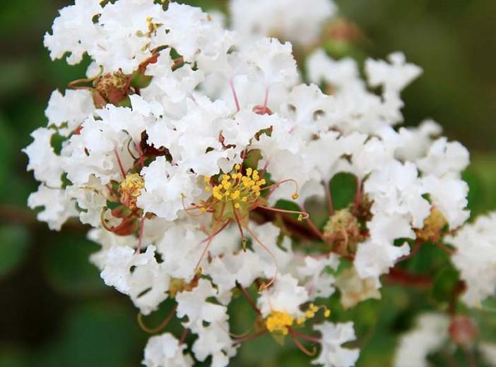 Lagerstroemia ''Natchez', Crape Myrtle ''Natchez', Crapemyrtle ''Natchez', Shrub, White Flowers, White Crape Myrtle