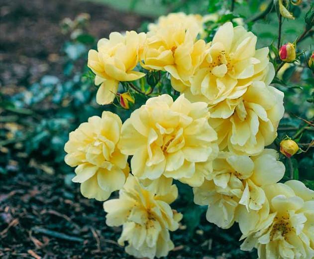 Rose 'Flower Carpet Yellow', Rosa 'Flower Carpet Yellow', Groundcover Roses, Yellow roses