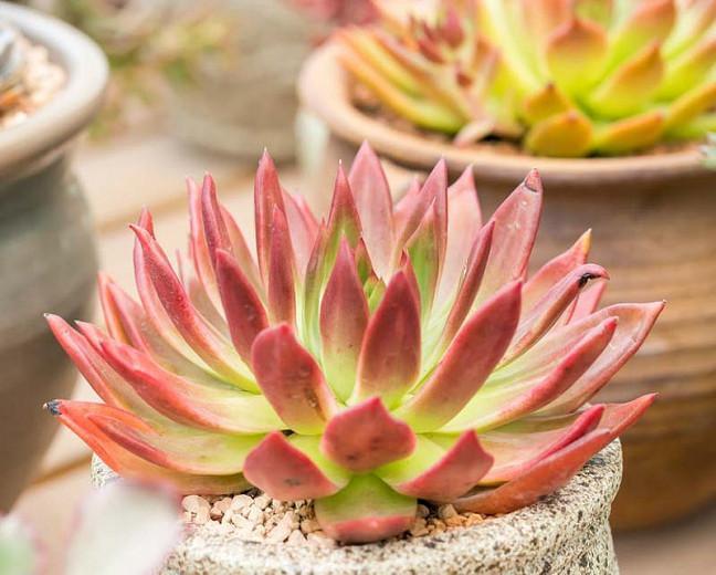 Echeveria Frank Reinelt,Frank Reinelt Echeveria,  Red echeveria, Green echeveria, Red succulent, Green succulent