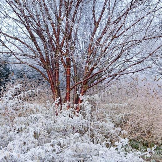 Prunus serrula, Tibetan Cherry, Birch-Bark Tree, Ornamental Cherry, Paperbark Cherry, Cellophane Bark Cherry, Redbark Cherry, Prunus serrula var. tibetica, Prunus tibetica, Tree with fall color, Fall color, Attractive bark Tree, Red Bark