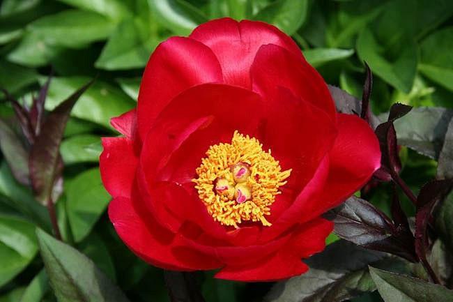 Paeonia 'Burma Ruby', Peony 'Burma Ruby', 'Burma Ruby' Peony, Red Peonies, Red Flowers, Fragrant Peonies