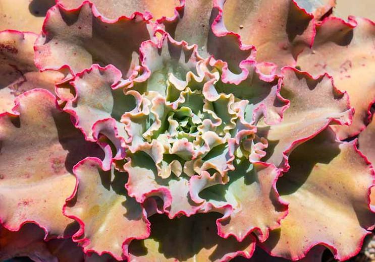 Echeveria 'Ruffles','Ruffles' Echeveria,  Pink echeveria, Purple echeveria, pink succulent, purple succulent