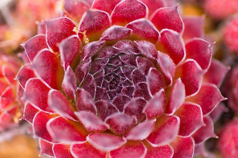 Sempervivum 'Red Rubin' (Hens and s) on lady's mantle plant, hyssop plant, scilla violacea plant, hellebore plant, poppy plant, gold flower plant, bottling plant, daffodil plant, hops plant, yarrow plant, lemon verbena plant, lemon balm plant, goat's beard plant, catmint plant, sage plant, perennial plant, birch plant, thyme plant, holly plant,