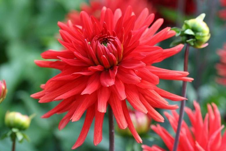 Dahlia 'Karma Red Corona', 'Karma Red Corona' Dahlia, Semi-Cactus Dahlias,Red Dahlias, Karma Dahlias, Dahlia Tubers, Dahlia Bulbs, Dahlia Flower, Dahlia Flowers, summer bulbs