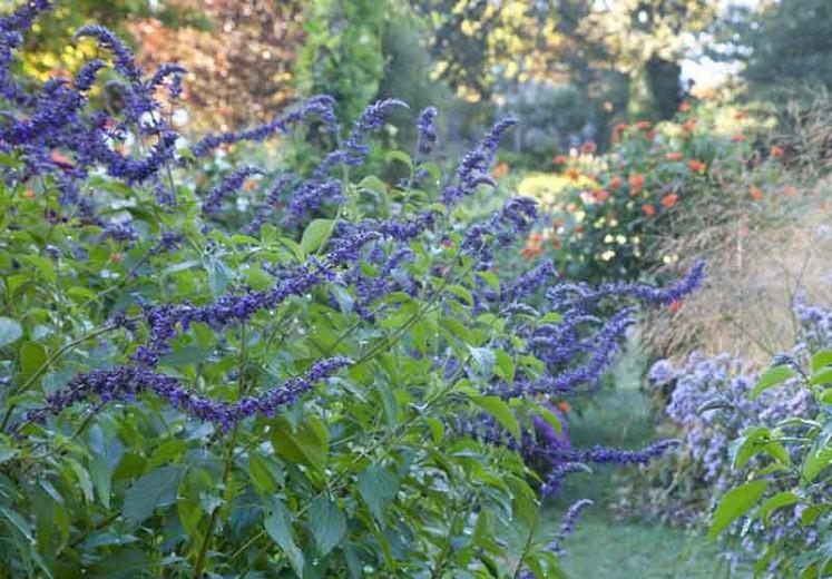 Salvia Indigo Spires, Indigo Spires Sage, Blue perennial, Salvia longispicata, Salvia farinacea, Blue Flowers