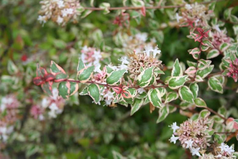 Abelia  grandiflora Mardi Gras, Glossy Abelia Mardi Gras, semi-evergreen Shrub, Evergreen shrub, Fragrant Shrub, Pink Flowers, White Flowers, Variegated foliage shrub