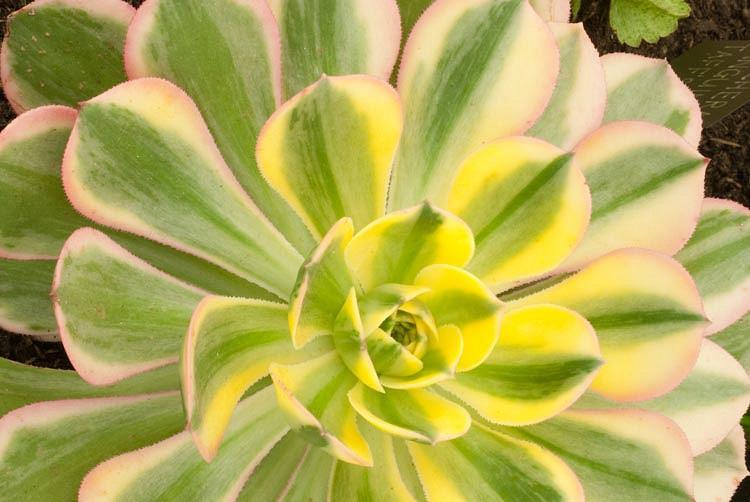 Aeonium Sunburst, Aeonium decorum 'Sunburst', Sunburst Aeonium, Variegated Aeonium