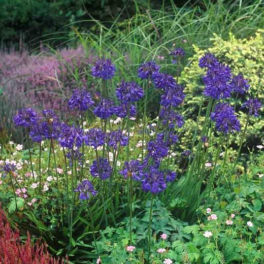 Agapanthus 'Bressingham Blue', lily of the Nile 'Bressingham Blue', African Lily 'Bressingham Blue', Blue flower, purple flower