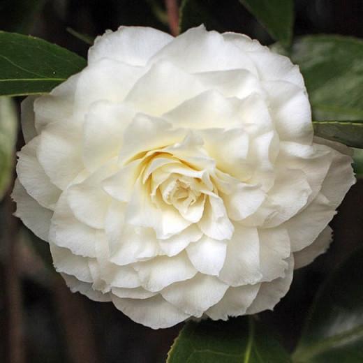 Camellia Japonica Alba Plena