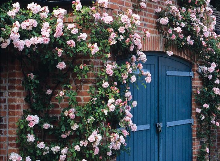 Rose 'Albertine', Rosa 'Albertine', Rambling Rose 'Albertine', Rambler Roses, Climbing Roses, Pink roses, very fragrant roses, Shrub roses, pink roses, Rose bushes, Garden Roses