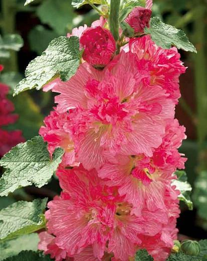 Alcea rosea 'Spring Celebrities Carmine Rose', Hollyhock 'Spring Celebrities Carmine Rose', Tall Perennial, Red flowers, Red Alcea, Red Hollylock, Double Alcea, Pink Flowers, Pink Alcea, Pink Hollyhock