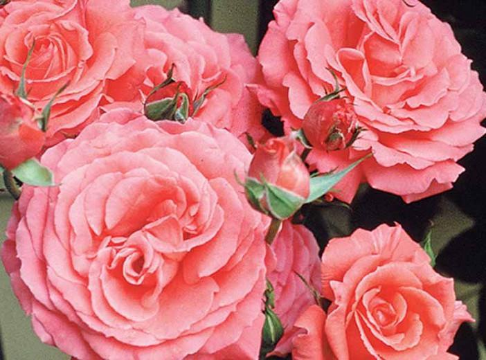 Rose 'America', Rosa 'America', Rosa 'JACclam', Large-Flowered Climber, Coral roses, Pink Roses, Orange Roses, Rose bushes, Garden Roses