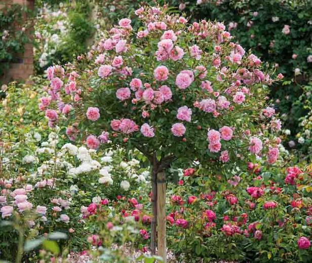 Rosa Anne Boleyn, Rose Anne Boleyn, English Rose Anne Boleyn, David austin rose Anne Boleyn, Fragrant roses, Shrub roses, pink roses, Rose Bushes, Garden Roses, Rose por pots, Roses for containers