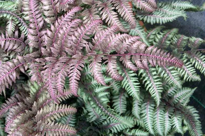 Athyrium Niponicum var. Pictum 'Burgundy Lace',Painted Lady Fern 'Burgundy Lace', Japanese Painted Fern 'v', Athyrium niponicum 'Burgundy Lace', Shade plants, shade perennial, plants for shade, plants for wet soil,