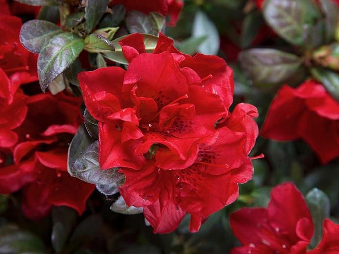 Rhododendron Encore Autumn Fire