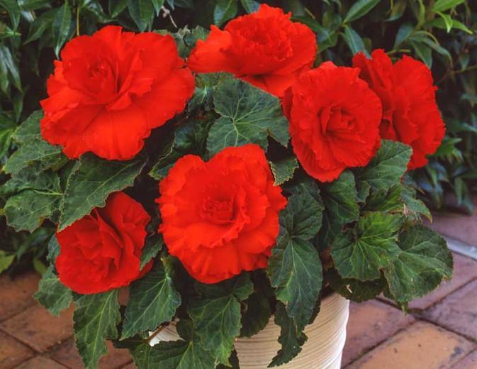 Begonia Ruffled Red
