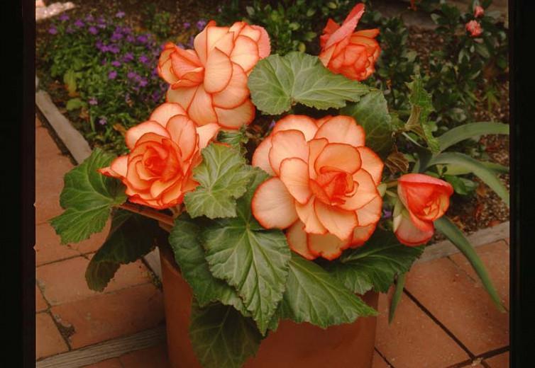 Begonia Picotee Sunburst