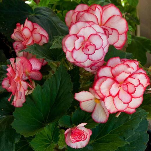 Begonia Picotee White Red