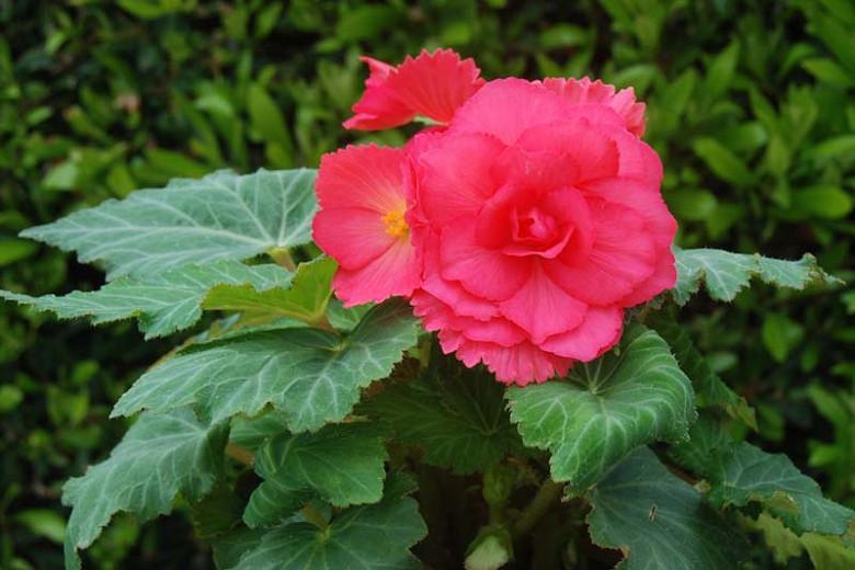 Begonia Roseform Rose