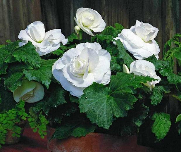 Begonia Roseform White