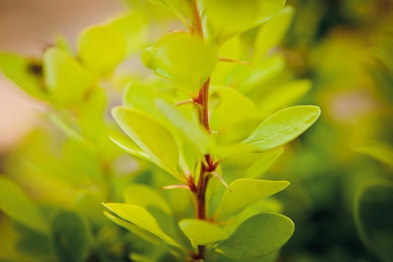 Berberis thunbergii Golden Rocket, Japanese Barberry 'Golden Rocket', Thunberg's Barberry 'Golden Rocket', Deciduous Shrubs, Foliage Shrub, Shrub with berries, Yellow shrub, Fall color