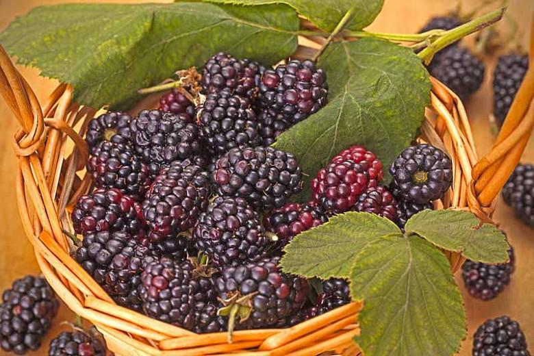 Rubus fruticosus 'Triple Crown', Blackberry Triple Crown, Black Berries, Fruiting Shrub