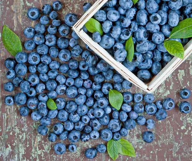 Vaccinium corymbosum 'Duke', Vaccinium Duke, Highbush Blueberry 'Duke', Blueberry 'Duke', Berries, Blue Berries