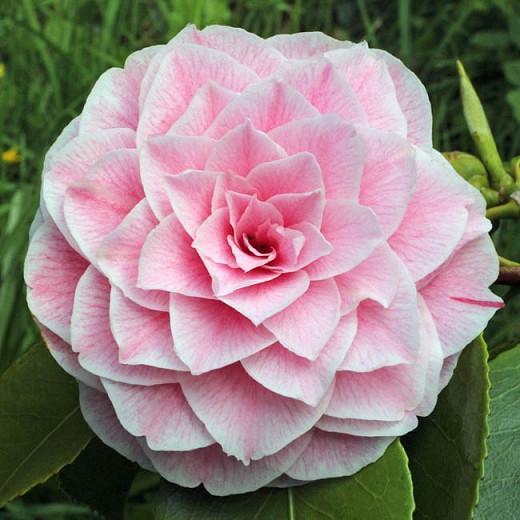 Camellia Japonica 'Bonomiana', Camellia 'Bonomiana', 'Bonomiana' Camellia, Winter Blooming Camellias, Spring Blooming Camellias, Mid Season Camellias, Pink flowers, Pink Camellias