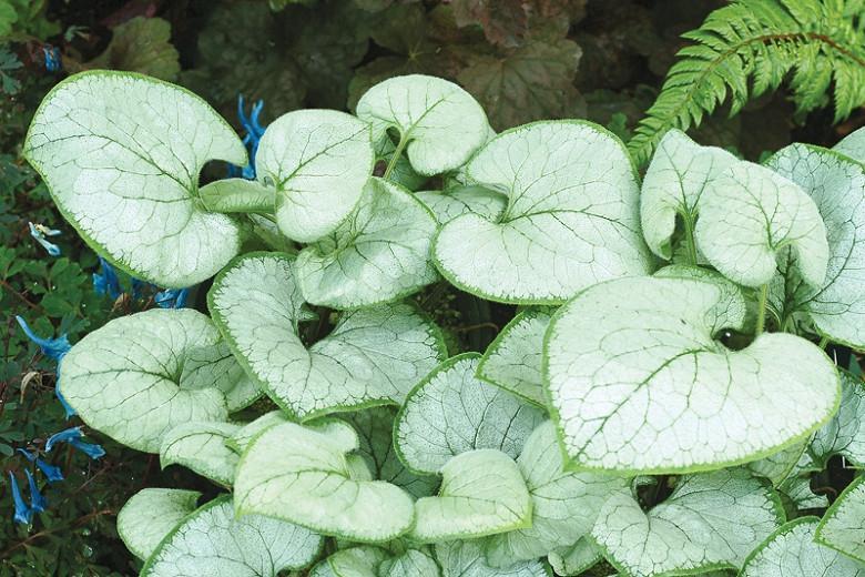 Brunnera Macrophylla 'Looking Glass' , Brunnera 'Looking Glass', Siberian Bugloss 'Looking Glass', Hearleaf Brunnera 'Looking Glass', False Forget-Me-Not 'Looking Glass', blue flowers, spring flowers