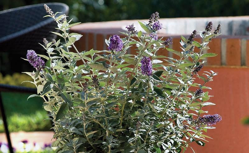 Buddleja 'Flutterby Petite Blue Heaven', Butterfly Bush 'Flutterby Petite Blue Heaven', Summer Lilac 'Flutterby Petite Blue Heaven', deciduous shrub, Blue flowers, fragrant shrub, Blue Buddleja