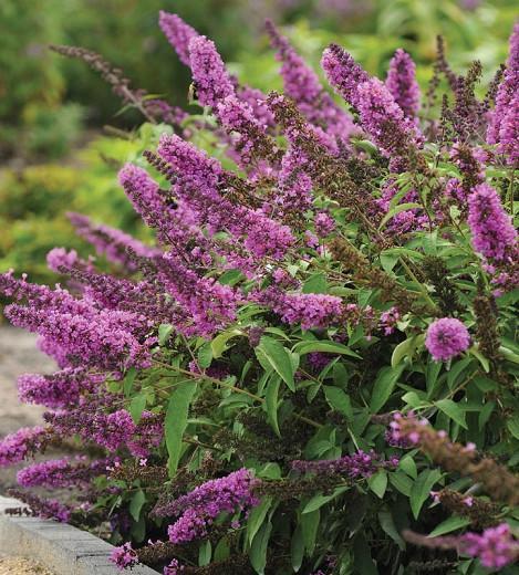 Buddleja 'Flutterby Petite Tutti Fruitti Pink', Butterfly Bush 'Flutterby Petite Tutti Fruitti Pink', Summer Lilac 'Flutterby Petite Tutti Fruitti Pink', deciduous shrub, Pink flowers, fragrant shrub, Pink Buddleja, Purple Flowers, Purple Buddleja