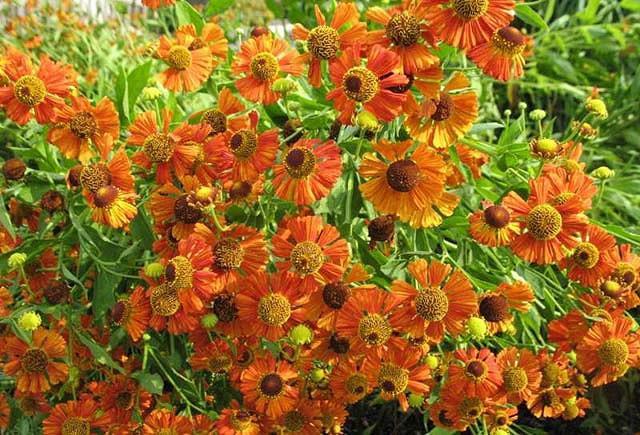 Common Sneezeweed Moerheim Beauty, False Sunflower Moerheim Beauty, Helen's Flowe Moerheim Beautyr, Yellow Star Moerheim Beauty, Late summer perennial, AGM perennials