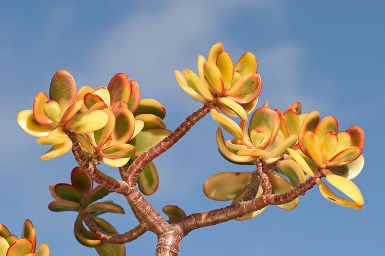 Crassula ovata 'Hummel's Sunset',Jade Plant 'Hummel's Sunset', Crassula ovata 'Sunset,  Red crassula, Red Jade plant, red succulent