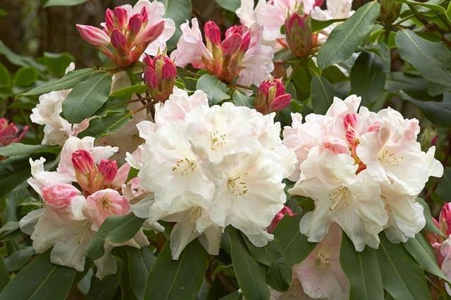 Rhododendron 'Loderi King George', 'Loderi King George' Rhododendron, Midseason Rhododendron, Fragrant Rhododendron, White Rhododendron, White Flowering Shrub