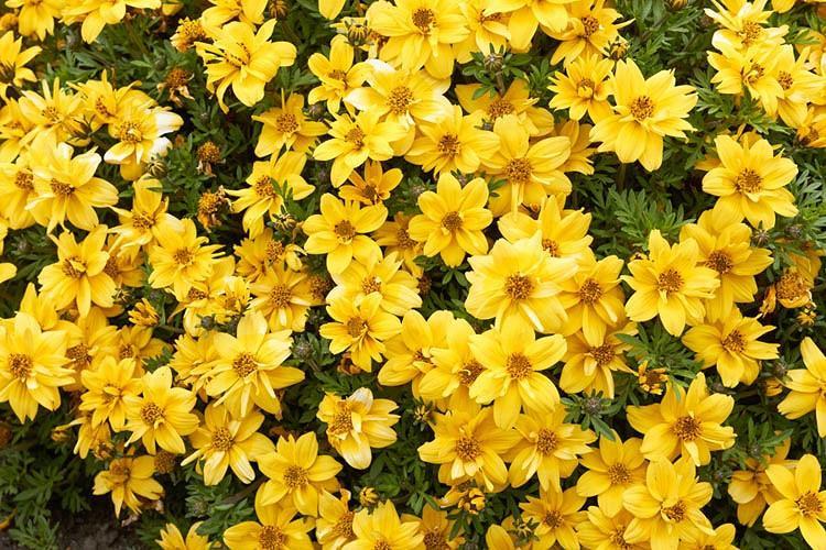 Tagetes Lemmonii Mexican Marigold