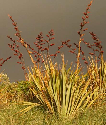 Phormium Tenax, New Zealand Flax, Evergreen Perennial, Common Flax Lily, Flax Bush, New Zealand Hemp, Coastal Flax