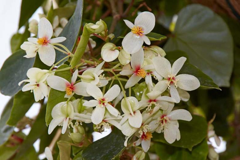 Begonia solananthera, Brazilian Heart Begonia, shade loving plants, summer flower bulbs, shade plants, Shade flowers, shade loving flowers