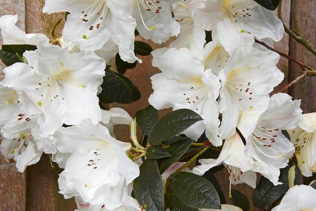 Rhododendron 'Fragrantissimum', 'Fragrantissimum' Rhododendron, Early Midseason Rhododendron, Fragrant Rhododendron, White Rhododendron, White Flowering Shrub