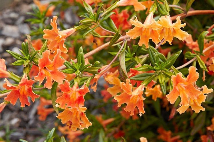 Mimulus aurantiacus, Bush Monkey Flower, Sticky Monkey Flower, Orange Bush Monkey Flower, Diplacus aurantiacus, Orange flowers, California natives,