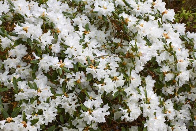 Rhododendron 'Dora Amateis', 'Dora Amateis' Rhododendron, Early Midseason Rhododendron, Fragrant Rhododendron, White Rhododendron, White Flowering Shrub
