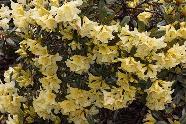 Rhododendron 'Saffron Queen', 'Saffron Queen' Rhododendron, Early Midseason Rhododendron, Fragrant Rhododendron, Yellow Rhododendron, Yellow Flowering Shrub