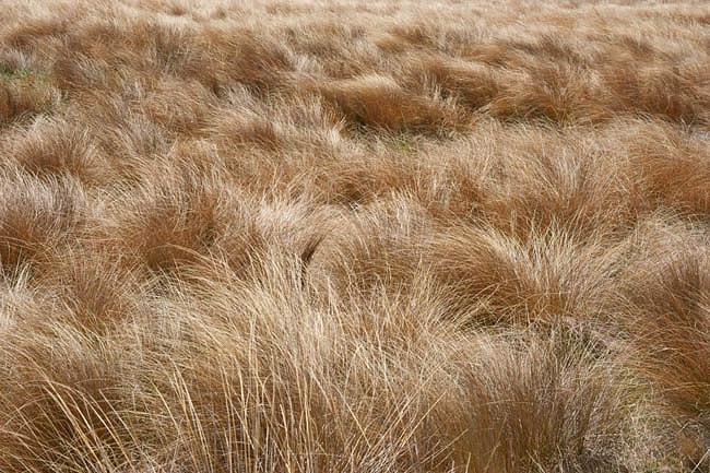 Chionochloa Rubra, Red Tussock Grass, Chionochloa conspicua 'Rubra', Danthonia raoulii var. rubra, Evergreen Grass, New Zealand Grass, New Zealand Red Tussock Grass