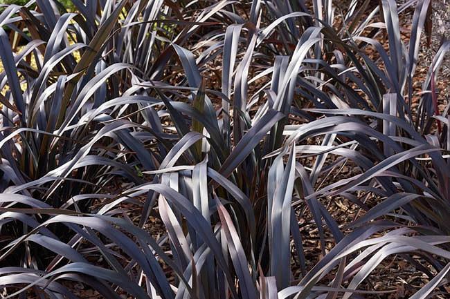 Phormium 'Platt's Black', New Zealand Flax 'Platt's Black', Flax Lily 'Platt's Black', Black Phormium, Flax Bush 'Platt's Black', New Zealand Hemp 'Platt's Black', Coastal Flax 'Platt's Black', Phormium cookianum 'Platt's Black'
